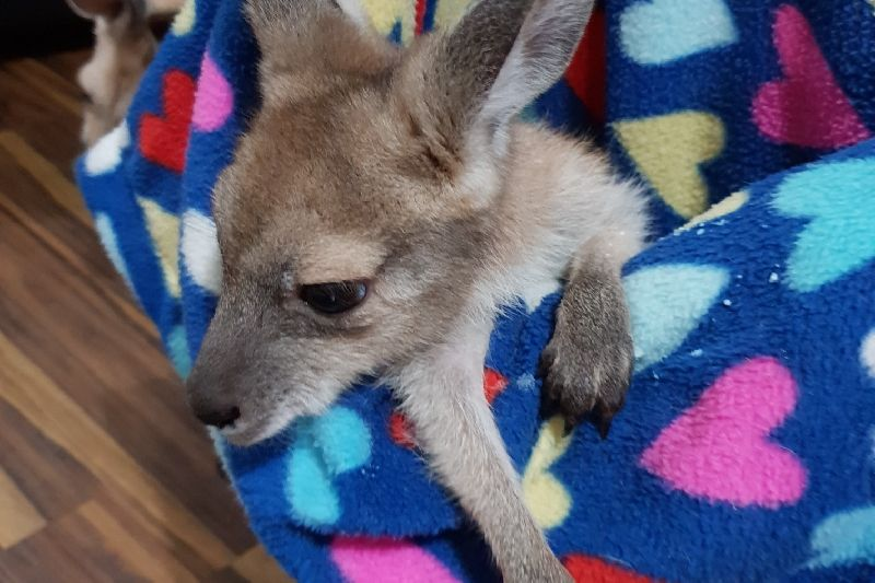 Gracie the Joey