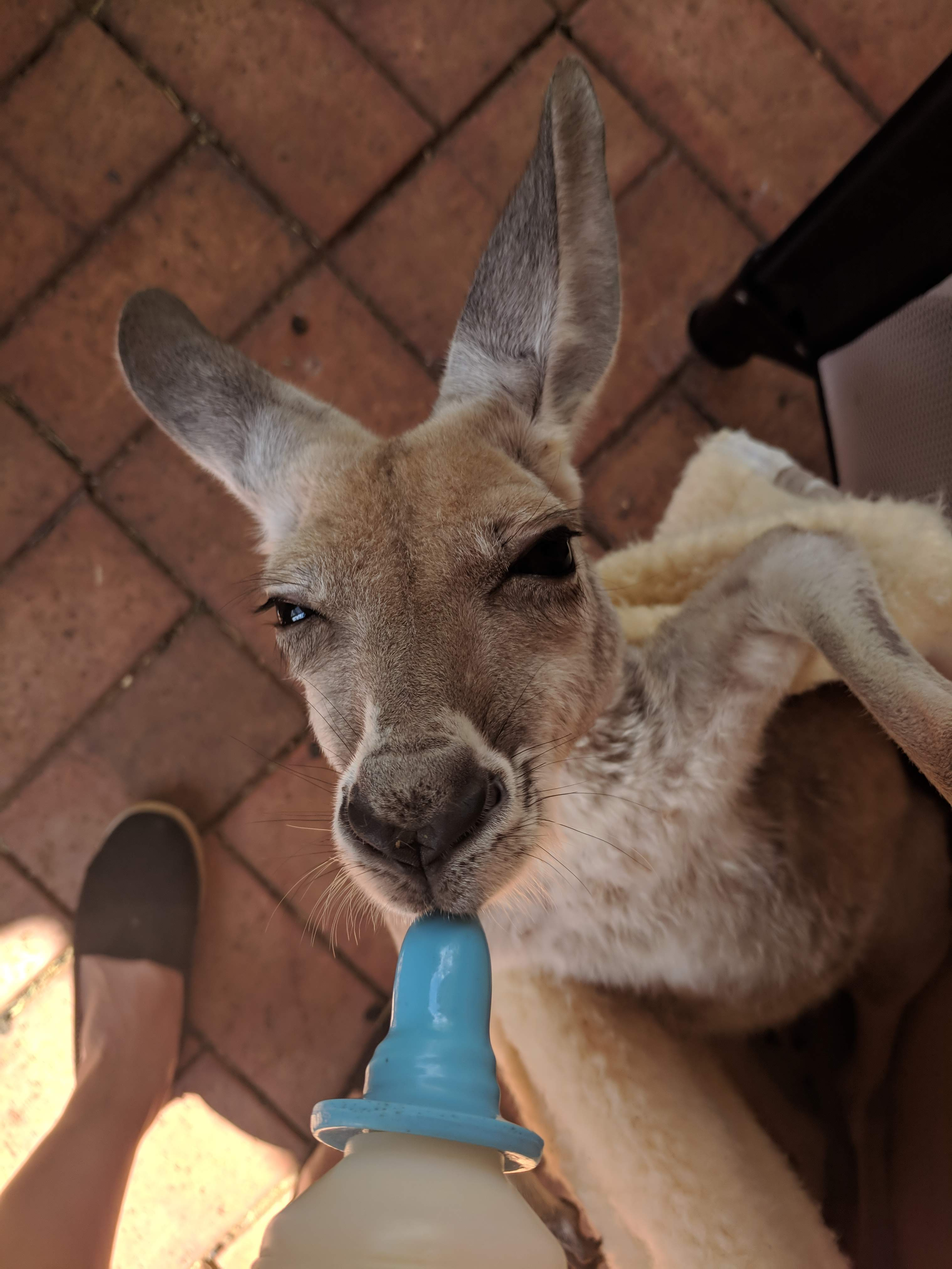 Bottle feeding Joeys