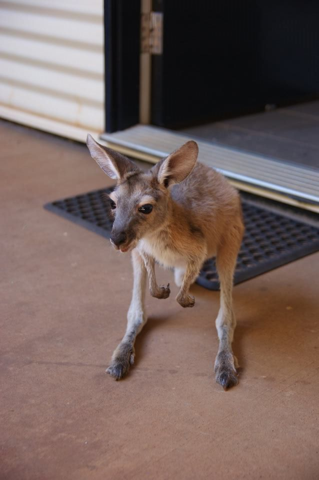 Caring for Joeys