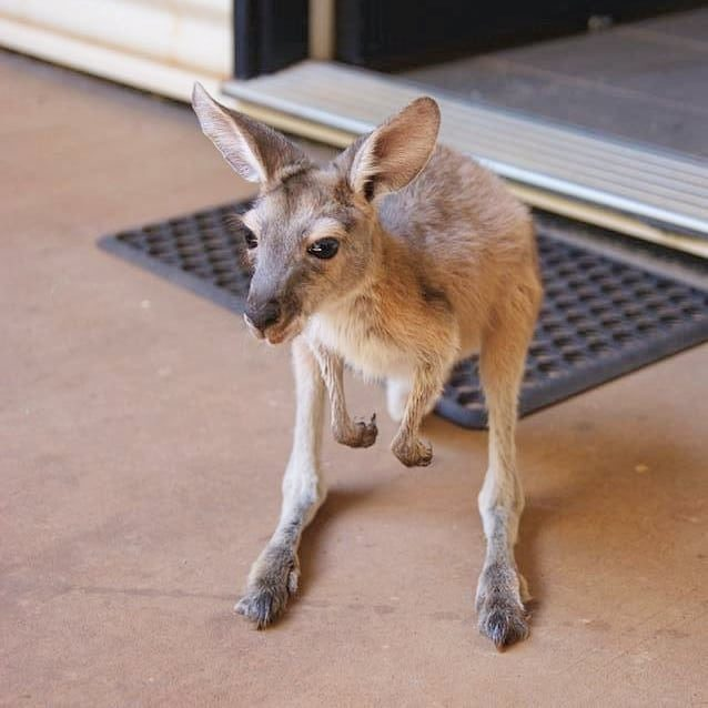 Contact Us to schedule your visit to Lisa's Kangaroo Retreat. Visits are available at 4:30pm daily for $15! . #joey #joeys #wildliferefuge #wildliferehab #orphananimals #dailycute #kangaroo #kangaroopouch #babyanimals #westernaustralia #lisaskangarooretreat #visitporthedland