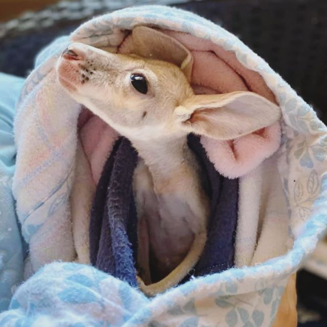 We often have up to 50 orphaned Joeys - and they are hungry! Any financial donations to the Retreat are used to buy Wombaroo kangaroo milk replacer 0.7, tissues, baby wipes and other perishable supplies that keep the Joeys healthy, clean and heading toward successful release. Milk can be up to $50 per 1.25kg. Donating just 50 cents per Joey ($25) is a big help! . Donate link in bio! ❤️🦘🍼 . #joey #joeypouch #kangaroopouch #lisaskangarooretreat #babyanimals #kangaroorescue #wildliferehab #wildliferefuge #kangaroosanctuary #westernaustralia #wildlifesanctuary #porthedland #visitporthedland #dailycute #cuteanimals #australiananimals #eyebleach